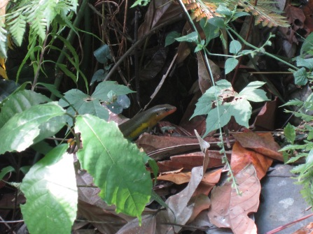 "Bali skink in the ""jungle"" near Tirta Gangga"