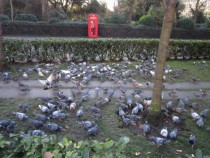 12 Pigeon Invasion (Medium)